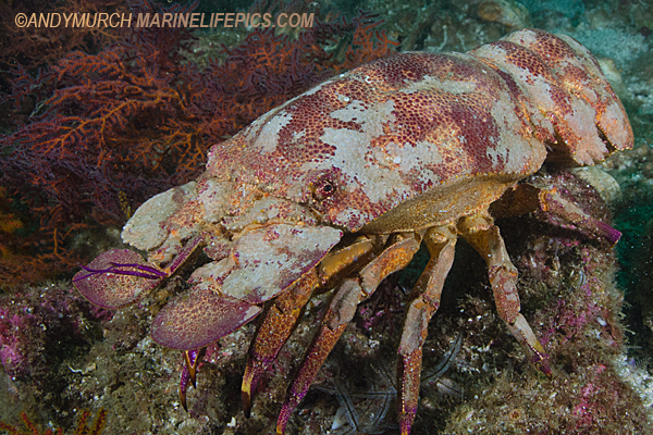 Galapagos Slipper Lobster
