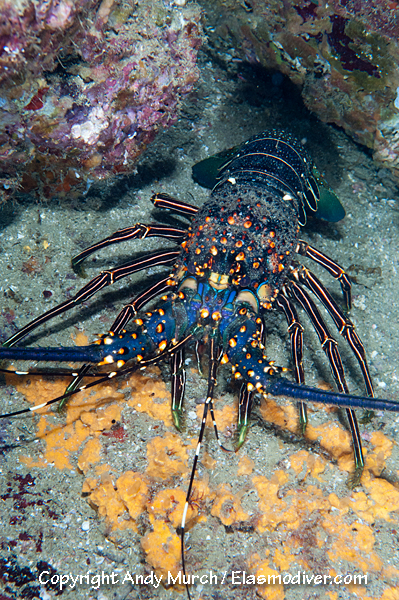 Pinto or Blue Spiny Lobster Pictures. Images of Panulirus inflatus
