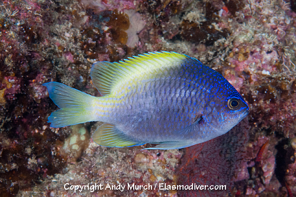 Blue and Yellow Chromis