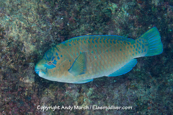 Bumphead Parrotfish Pictures