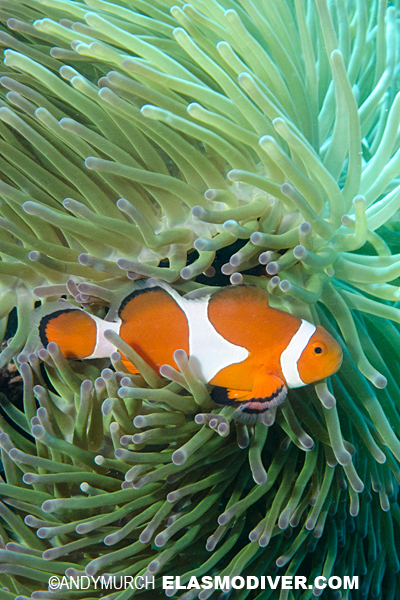 False clown anemonefish pictures images of amphiprion for Clown fish scientific name