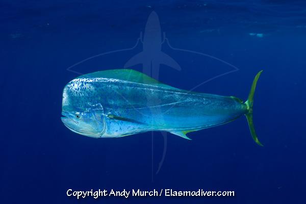 Mahi Mahi Or Dolphinfish Pictures