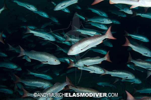 Mutton snapper pictures images of lutjanus aratus for Pictures of mullet fish
