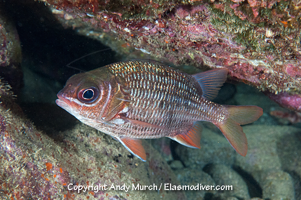 Tinsel Squirrelfish