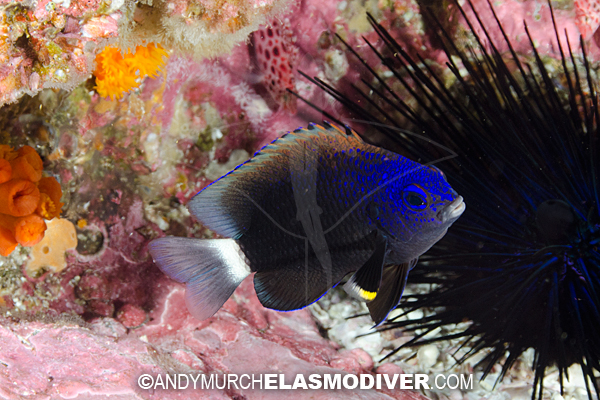Whitetail Damselfish