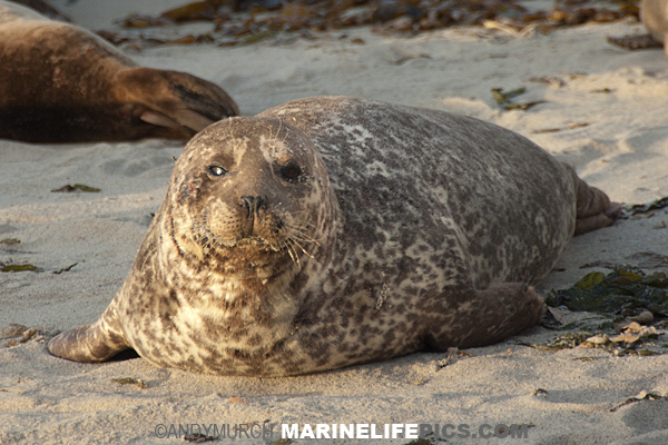 Eastern Pacific Harbour Seal