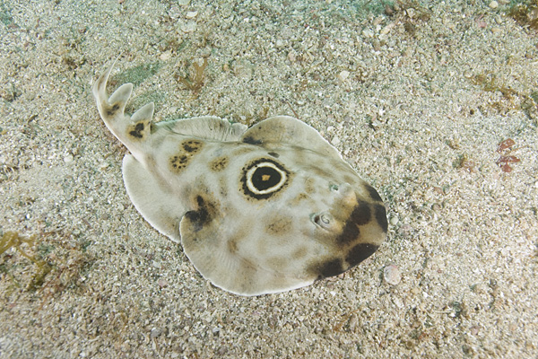 bullseye electric ray