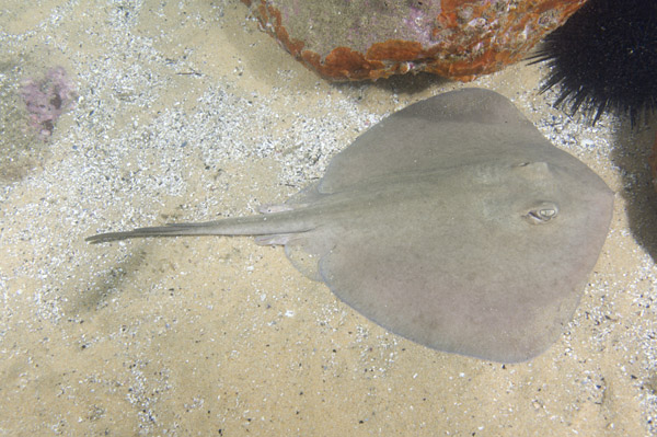 Common Stingaree Pictures - images of Trygonoptera testacea