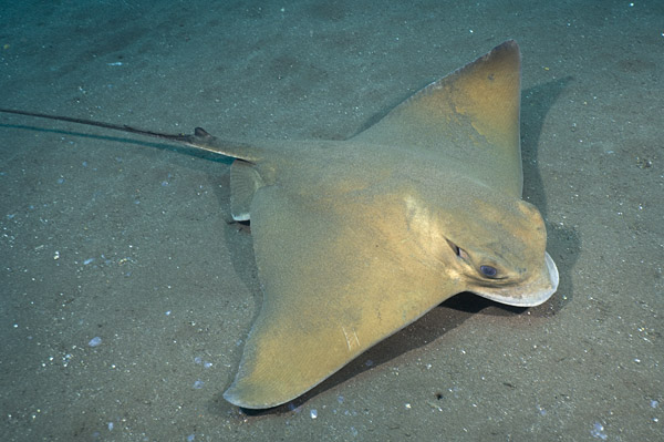 Common Eagle Ray