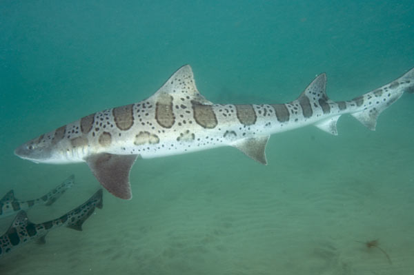 the characteristics of leopard sharks triakis semifascicata from the family of requiem sharks carcha