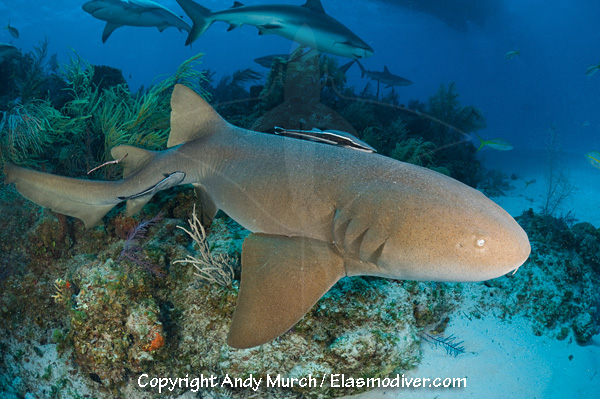 Nurse shark swimming over a reef