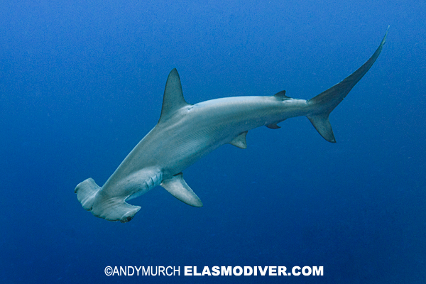 Pictures of scalloped hammerhead sharks images of sphyrna for Little fairy door shark tank