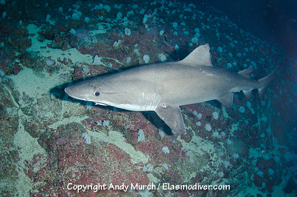 Smalltooth sandtiger shark pictures and images of ...