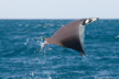 munks devil ray