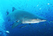 Sandtiger Shark Picture