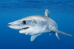 Shortfin Mako Shark Picture