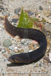 Black Prickleback