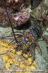 Pinto Spiny Lobster